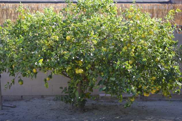 Lemon Tree in Town