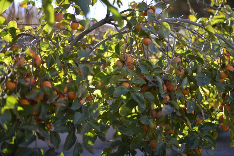 Persimmons Fruit Tree